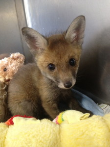 """Lorraine"" an abandoned vixen. She was successfully rehabilitated into the wild."