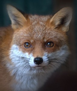 7,000 Foxes Rescued in 20 Years