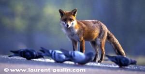 fox copy